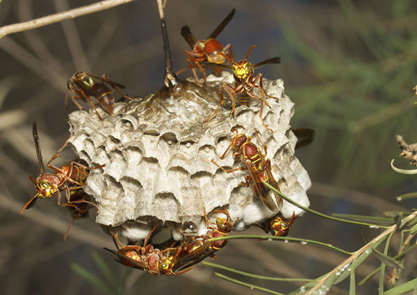 Paper Wasp-3