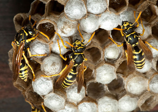 Paper Wasp-4